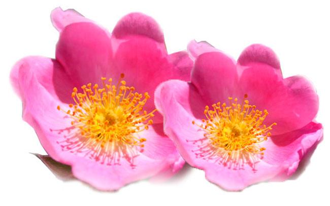 rosa mosqueta fisaude