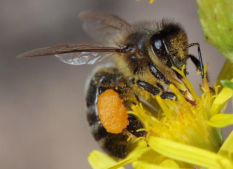 Veleno d'ape: trattamenti anti-age